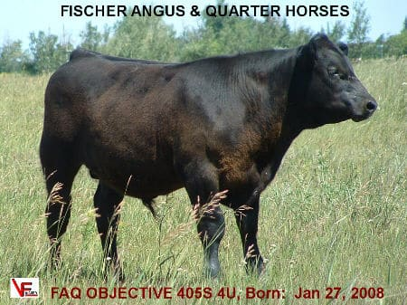 FAQ Objective 405S 4U - Born: Jan. 27, 2008 - BW: 103 lbs Adj. WW: 1009 lbs, Dec 30/08: 1425 lbs, he is from a first calf heifer, and the heaviest bull of all breeds on test..